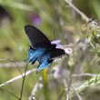 Blue and Black Butterfly Sitting on Plant — Stock Photo