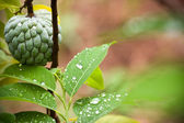 Fresh custard apple tree — Stock Photo
