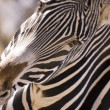 Hello Zebra - Stockfoto