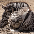 Resting Zebra - Stock Photo