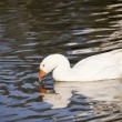 Snow goose swimming in the lake. Farm bird — Stock Photo