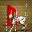 Stock Photo: Dalmatiat agility course