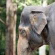 Stock Photo: Asian elephant in the jungle