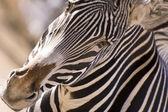 Hello Zebra — Stock Photo