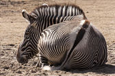 Resting Zebra — Stock Photo