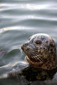 A seal in the open water — Stockfoto