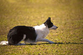 Trained Dog — Stock Photo