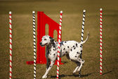 Dalmatian at agility course — Stock Photo