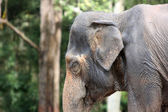 Asian elephant in the jungle — Stock Photo