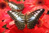 бабочки на тропический красный цветок — Стоковое фото