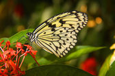 Butterflies on red tropical flower — Stock Photo