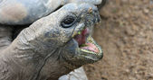 Giant tortoise — Stock Photo