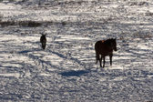 Horse and a donky on the snowy field — Stock Photo