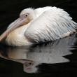 White pelican — Stock Photo #10357539