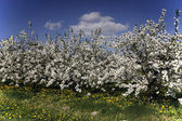 Spring in the orchard — Stock Photo