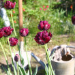Black tulips are in the drops of dew — Stock Photo