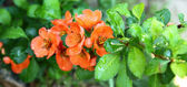 A quince flowers Japanese (Chaenomeles) — Stock Photo