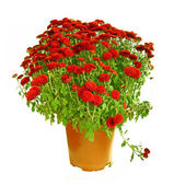 Pot with the red chrysanthemums. — Stock Photo