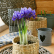 Bulbous iris in a pot on a balcony — Stock Photo