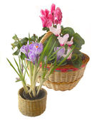 Spring flowers in a small basket on a white background — Stock Photo