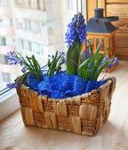 Une jacinthe et scilla est dans un petit panier — Photo