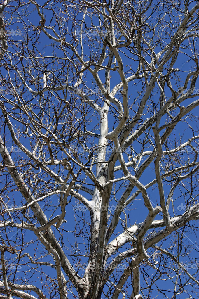 A bare birch tree in winter — Stock Photo #10384476