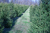 Christmas Tree Farm — Stock Photo