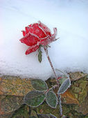 Rose in the snow — Stockfoto