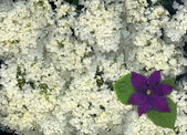 Hydrangea and Clematis — Stock Photo