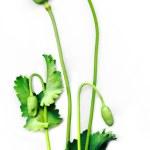 Framing poppy — Stock Photo #9911945