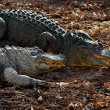 Two alligators. — Stock Photo