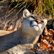 Stock Photo: Cougar basking in sunlight.