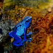 Stock Photo: Blue Poison Dart Frog (Dendrobates azureus).
