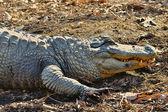 Alligator showing his teeth. — Stock Photo