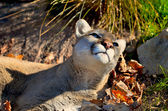Cougar basking in the sunlight. — Stock Photo