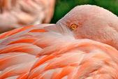 Pink flamingos (Phoenicopterus chilensis). — Stock Photo