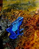 Blue Poison Dart Frog (Dendrobates azureus). — Stock Photo