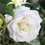 White rose in the garden — Stock Photo #10662941