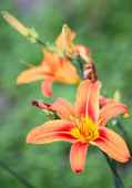 Tiger lily in front yard — Stock Photo