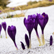 Flowers purple crocus in the snow, spring landscape — Stock Photo #8517944