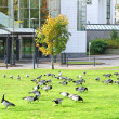 Barnacle Geese Branta leucopsis near office center in Stockholm, Sweden — Stock Photo