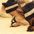 Stock Photo: Camel's backs in Sahara, Tunisia