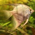 Angelfish — Stock Photo