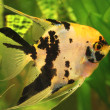 Stock Photo: Angelfish