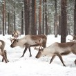 Stock Photo: Reindeer