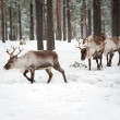 Reindeer — Stock Photo #9874737