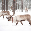 Reindeer — Stock Photo #9885510