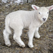 Lamb — Stock Photo #9995538