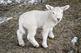 Lamb — Stock Photo