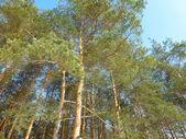 Tall pine trees — Stockfoto